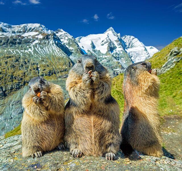 חיות חמודות על רקע הר הגרוסגלוקנר